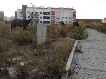 PRÓTOIRO Resolve o Problema dos Cavalos Abandonados no Cacém